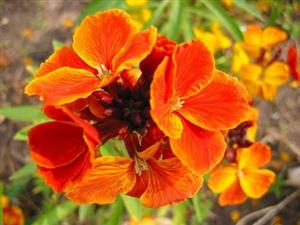 http://les.fleurs.free.fr/AA_IMG/giroflee1.jpg