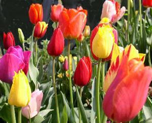Petit quizz des plantes - Page 5 Tulipe1